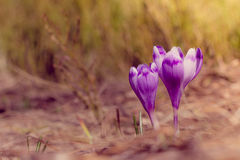 Crocus flowers in the warm rays of spring. View of crocus flowers in light of the evening rays in close-up Royalty Free Stock Images