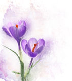 Crocus Flowers Watercolor Royalty Free Stock Photography