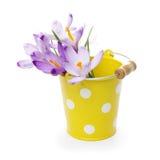 Crocus flowers in yellow bucket Stock Image