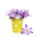 Crocus flowers in yellow bucket Royalty Free Stock Images