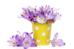 Crocus flowers in yellow bucket Royalty Free Stock Image