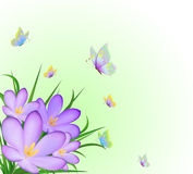 Crocus and flying butterflies Stock Photos