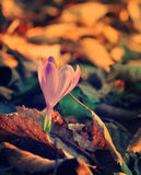 Crocus in the forest, first spring flowers Royalty Free Stock Photos