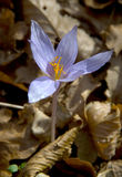 Crocus in the forest Stock Photos