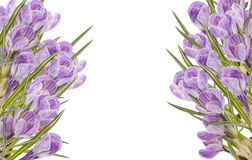 Crocus frame. The frame of the two vertical crocus flowers Stock Photography
