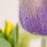 Crocus Frames Yellow Flower Royalty Free Stock Images
