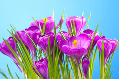 Crocus in front of a blue background Royalty Free Stock Image