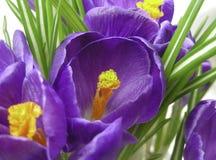 Crocus Garden Royalty Free Stock Photos