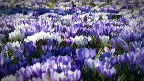 Crocus, Garden, Flowers Stock Photo