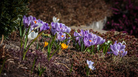 Crocus in garden. Lot of crocus in lot of color and types stock photography