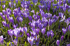Crocus Stock Photography