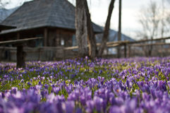 Crocus. Is a genus of flowering plants in the iris family comprising 90 species of perennials grown from corms Royalty Free Stock Photo