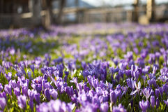 Crocus. Is a genus of flowering plants in the iris family comprising 90 species of perennials grown from corms Stock Photography