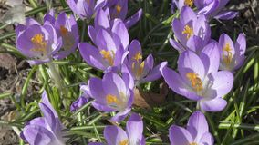 Crocus on a glade in a sunny day