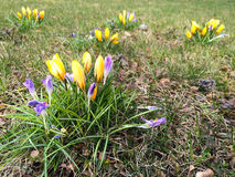 Crocus on a glade Stock Image
