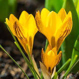 Crocus Glow Stock Photography