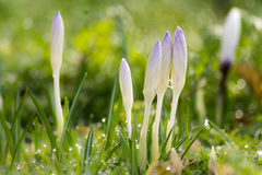 Crocus in the grass. The advent of spring. Crocuses sticking out from the grass. Slowly the dew evaporates in the sunshine, it is a beautiful spring day Stock Images