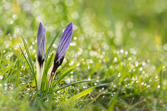 Crocus in the grass. The advent of spring. Crocuses sticking out from the grass. Slowly the dew evaporates in the sunshine, it is a beautiful spring day Stock Photography