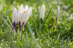 Crocus in the grass. The advent of spring. Crocuses sticking out from the grass. Slowly the dew evaporates in the sunshine, it is a beautiful spring day Stock Photo