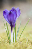 A Crocus in the grass Royalty Free Stock Image
