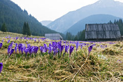 Crocus on a green meadow in spring Stock Image