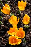 Crocus group Royalty Free Stock Image