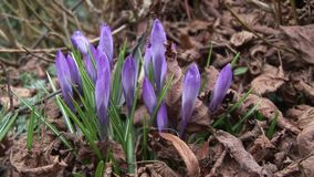 Crocus growing through leaf litter. English church yard and flowes stock video footage