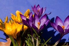Crocus. Growing purple and yellow crocus Royalty Free Stock Photo