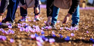 Crocus harvest at autumn Stock Photography
