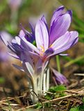 Crocus Heuffelianus Royalty Free Stock Photos