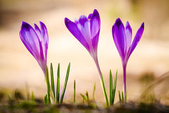 Crocus heuffelianus. Purple crocus flower on the spring meadow Royalty Free Stock Image