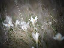 Crocus heuffelianus white flower. Spring time, primrose plants. Easter, blossom stock photography