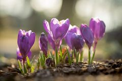 Crocus In Early Spring Royalty Free Stock Image