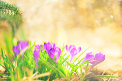 Crocus In Sunny Warm Light Royalty Free Stock Images