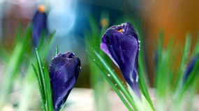 Crocus iridaceae blossoms. Beautiful purple crocus blossoms with water perls effects Royalty Free Stock Photos