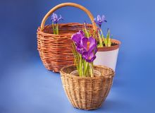 Crocus and Iridodictyum in baskets Stock Image
