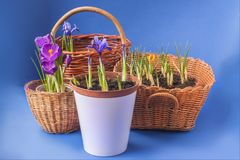 Crocus and Iridodictyum in baskets  on a blue background Stock Image