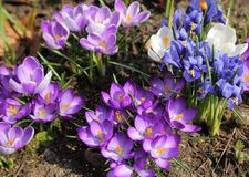Crocus and Iris pumila. Beautiful  crocus and Iris pumila flowers in the spring time Stock Photos