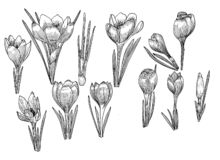 Crocus isolated. Hand drawn vector illustration