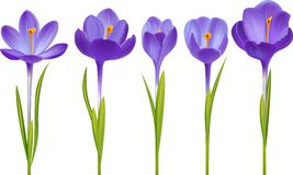 Crocus isolated on white. Various realistic crocus flowers isolated on white Royalty Free Stock Photos