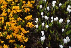 Crocus jaunes et blancs de yang de Yin - photos stock