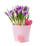 crocus and knitting heart Stock Photography