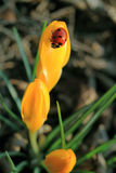 Crocus & Ladybug Royalty Free Stock Photo
