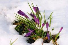 Crocus in the snow. Crocus longiflorus, flowering in the last snow of spring Stock Photos