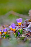 Crocus lumineux Photos stock