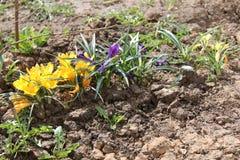 Crocus lumineux fleuris au printemps en avril Image stock