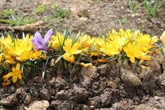Crocus lumineux fleuris au printemps en avril Crocus lumineux fleuris au printemps en avril Image stock