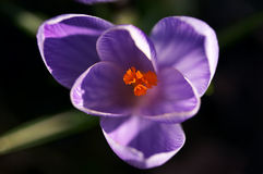 Crocus Macro Royalty Free Stock Photography