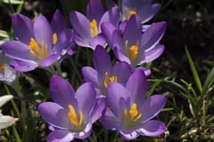 Crocus. In march Stock Photos