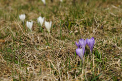 Crocus in meadow above Zermatt in the Swiss Alps Stock Images